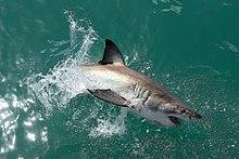 Great white shark - Wikipedia