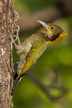 Greater Yellownape - Ghatgarh, Uttarakhand, India (15166128312).jpg