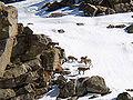Gredos-ibex-2009-02-23~60p.jpg