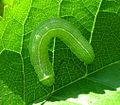 Green-caterpillar-WA.jpg