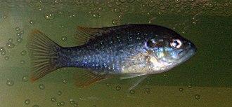Green sunfish - A juvenile