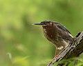 Green Heron (33971201483).jpg