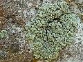 Green Rock-Posy (5037668483).jpg