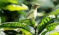 Green warbler.jpg