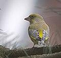 Greenfinch (38620143184).jpg