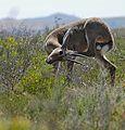 Grey Rhebok (Pelea capreolus) (31991110114).jpg