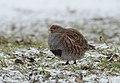 Grey partridge (46454507205).jpg