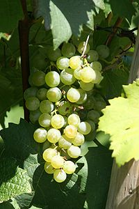 Grapes and leaves of the grape variety Grüner ...