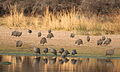 Guinea Fowl coming to drink outside my portable hide. (9868786136).jpg