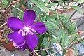 HK 上環 Sheung Wan 水坑口街 Possession Street Footbridge green plants n flowers purple 野牡丹 Melastoma septemnervium Sept 2017 IX1 01.jpg
