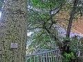 HK 北角半山 North Point Mid-Levels 雲景道 69-75 Cloud View Road 摩天大廈 Skycraper Apr-2014 木棉樹 Tree Cotton.JPG