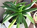 HK Mid-levels High Street clubhouse green leaves plant February 2019 SSG 63.jpg