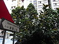 HK Sheung Wan Upper Lascar Row name sign tree 印度橡膠樹 Ficus elastica June-2012.JPG