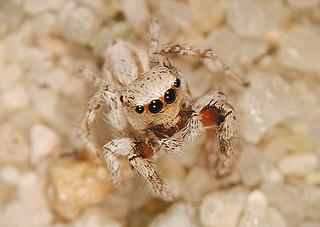 <i>Habronattus signatus</i> Species of spider