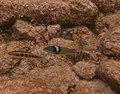 Halichoeres bivittatus - slippery dick and Thalassoma bifasciatum - bluehead wrasse - Bay of Pigs - Cuba.jpg