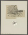 Halimus aries - - Print - Iconographia Zoologica - Special Collections University of Amsterdam - UBAINV0274 095 21 0008.tif