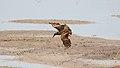 Hammerkop (Scopus umbretta) (44731262220).jpg