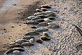 Harbor Seals - Flickr - GregTheBusker.jpg