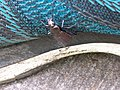 Harderbos - Carabus granulatus v2.jpg