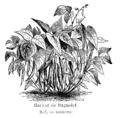 Haricot de Bagnolet Vilmorin-Andrieux 1904.png
