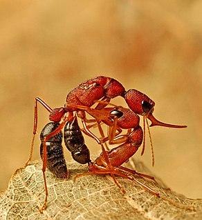<i>Harpegnathos saltator</i> species of insect