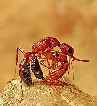 Worker policing - Worker of Harpegnathos saltator killing a queen