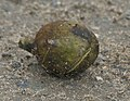 Harra (Terminalia chebula) fallen fruit at 23 Mile, Duars, WB W IMG 5900.jpg