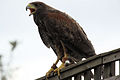 Harris Hawk - Woburn Safari Park (4578997637).jpg