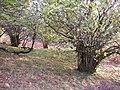 Hazel coppice, Gowbarrow Park, Watermillock township, Matterdale CP - geograph.org.uk - 280228.jpg