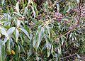 Hedera helix - adult leaf form and seeds.JPG