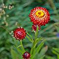 Helichrysum bracteatum-IMG 8573.jpg