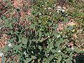 Heliotropium europaeum g1.jpg