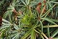 Helleborus foetidus kz02.jpg