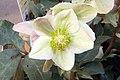 Helleborus x nigersmithii Ivory Prince 2zz.jpg