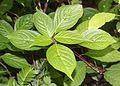 Helwingia japonica (female).jpg