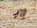 Hen Harrier (Circus cyaneus) (49249693958).jpg