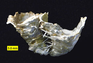 Permian - Hercosestria cribrosa, a reef-forming productid brachiopod (Middle Permian, Glass Mountains, Texas).