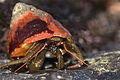 Hermit Crab (Pagurus samuelis) (3108615732).jpg