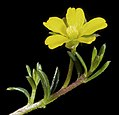 Hibbertia avonensis - Flickr - Kevin Thiele.jpg