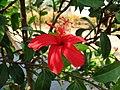 Hibiscus clayi (5113322748).jpg
