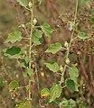 Hibiscus panduriformis in Kawal WS, AP W IMG 1650.jpg