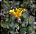 Hieracium vulgatum inflorescence (03).jpg