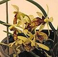 Holcoglossum subulifolium x Luisia cordatilabia -台南國際蘭展 Taiwan International Orchid Show- (39927693575).jpg