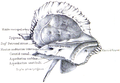 Holden's human osteology (1899) - Plt08 Fig02.png