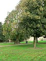 Holly tree, Horsforth Hall Park - geograph.org.uk - 272750.jpg