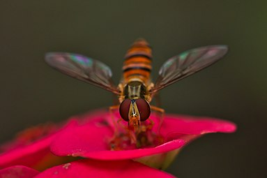 Honey bee 02.jpg