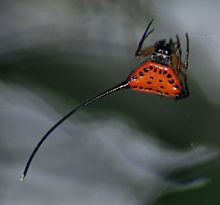 Horned spider (Gasteracantha arcuata).cropped.jpg