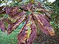 Horse Chestnut leaf in autumn 1.JPG