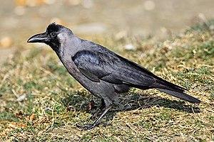 House crow - Image: House Crow 444