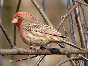 Description de l'image House Finch-27527-2.jpg.